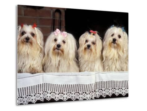 Domestic Dogs, Four Maltese Dogs Sitting in a Row, All with Bows in Their Hair-Adriano Bacchella-Metal Print