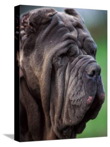Neopolitan Mastiff Face Portrait-Adriano Bacchella-Stretched Canvas Print