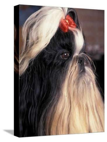 Shih Tzu Profile with Hair Tied Up-Adriano Bacchella-Stretched Canvas Print
