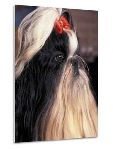 Shih Tzu Profile with Hair Tied Up-Adriano Bacchella-Metal Print