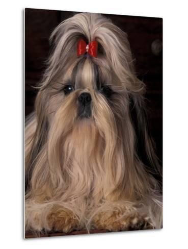 Shih Tzu Portrait with Hair Tied Up, Showing Length of Facial Hair-Adriano Bacchella-Metal Print