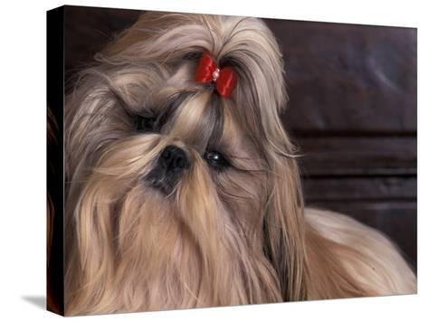 Shih Tzu Portrait with Hair Tied Up, Head Tilted to One Side-Adriano Bacchella-Stretched Canvas Print