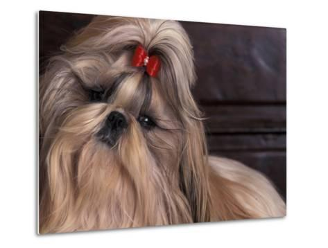 Shih Tzu Portrait with Hair Tied Up, Head Tilted to One Side-Adriano Bacchella-Metal Print