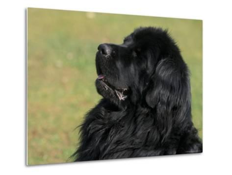 Black Newfoundland Looking Up-Adriano Bacchella-Metal Print