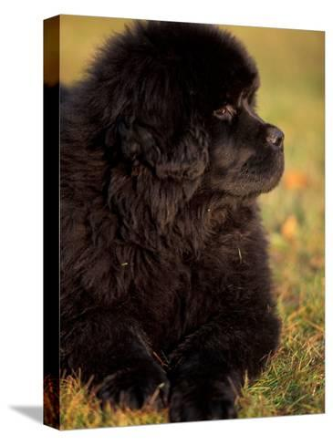 Profile Portrait of Young Black Newfoundland-Adriano Bacchella-Stretched Canvas Print
