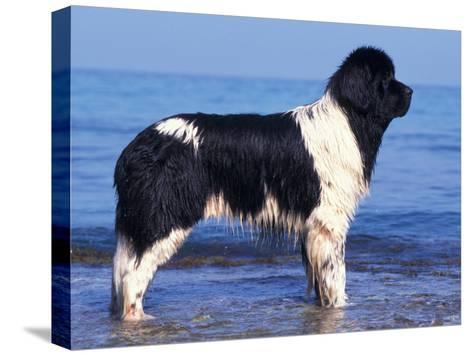 Landseer / Newfoundland Standing at the Beach-Adriano Bacchella-Stretched Canvas Print