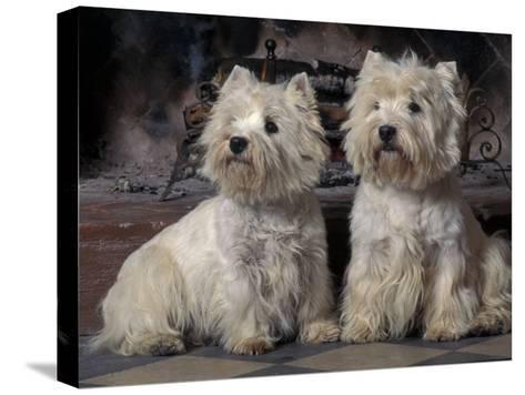 Domestic Dogs, Two West Highland Terriers / Westies Sitting Together-Adriano Bacchella-Stretched Canvas Print
