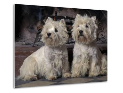 Domestic Dogs, Two West Highland Terriers / Westies Sitting Together-Adriano Bacchella-Metal Print