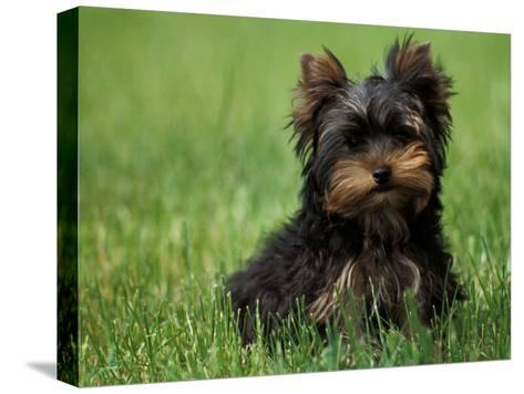 Yorkshire Terrier Puppy Sitting in Grass-Adriano Bacchella-Stretched Canvas Print