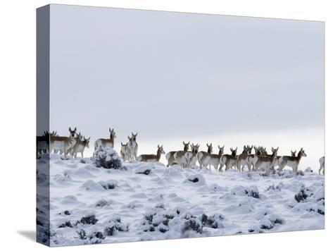 Pronghorn Antelope, Herd in Snow, Southwestern Wyoming, USA-Carol Walker-Stretched Canvas Print