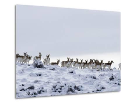 Pronghorn Antelope, Herd in Snow, Southwestern Wyoming, USA-Carol Walker-Metal Print