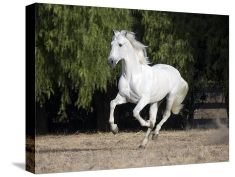 Grey Andalusian Stallion Cantering in Field, Ojai, California, USA-Carol Walker-Stretched Canvas Print