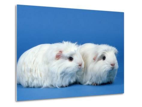 Two White Coronet Guinea Pigs-Petra Wegner-Metal Print