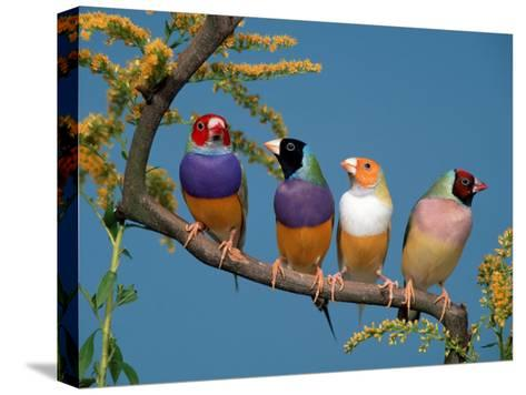 Four Gouldian Finches-Petra Wegner-Stretched Canvas Print