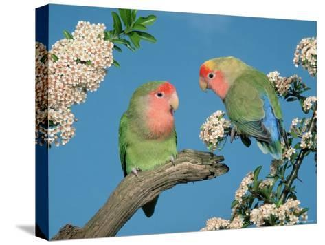 Pair of Peach-Faced Lovebirds-Petra Wegner-Stretched Canvas Print
