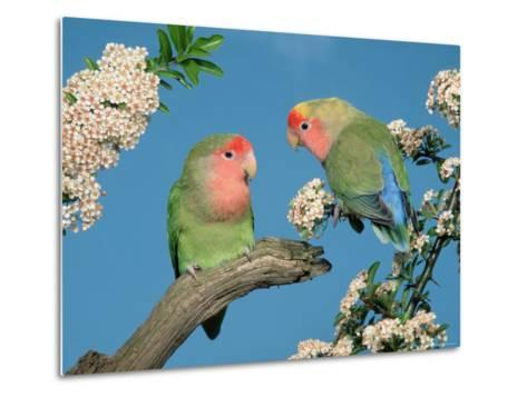 Pair of Peach-Faced Lovebirds-Petra Wegner-Metal Print