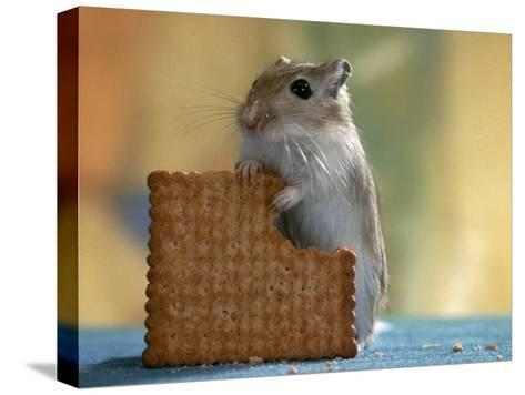 Gerbil Eating Biscuit-Steimer-Stretched Canvas Print