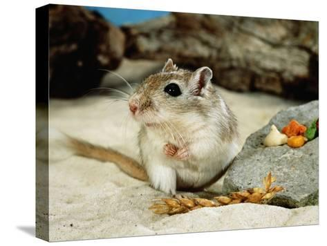Gerbils at Play-Steimer-Stretched Canvas Print