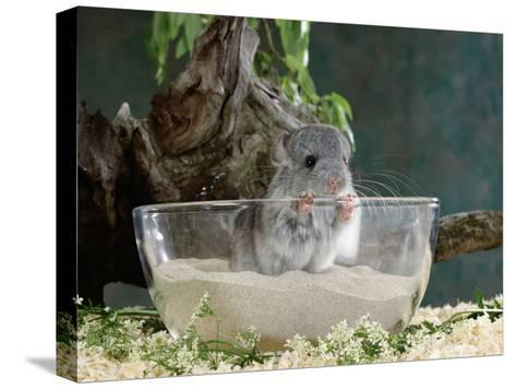 Long-Tailed Chinchilla Sand Bathing-Steimer-Stretched Canvas Print