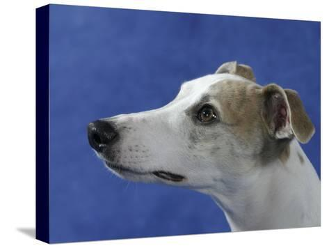 Head of Whippet Dog-Petra Wegner-Stretched Canvas Print