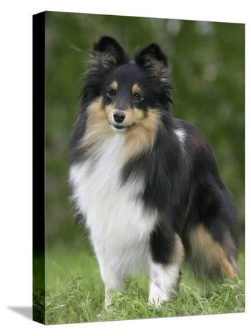 Sheltie Dog Outdoors-Petra Wegner-Stretched Canvas Print