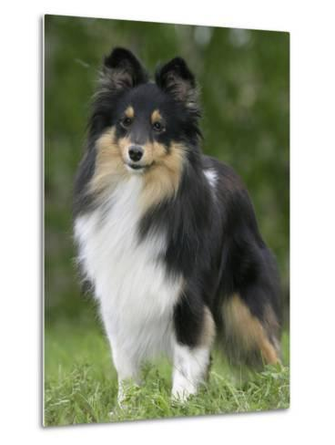 Sheltie Dog Outdoors-Petra Wegner-Metal Print