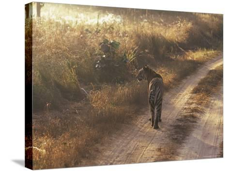 Tiger, Kanha National Park, Madhya Pradesh State, India-Jeremy Bright-Stretched Canvas Print