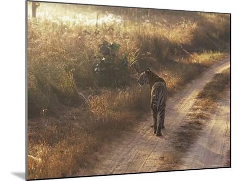Tiger, Kanha National Park, Madhya Pradesh State, India-Jeremy Bright-Mounted Photographic Print