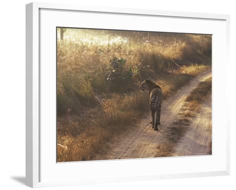 Tiger, Kanha National Park, Madhya Pradesh State, India-Jeremy Bright-Framed Art Print