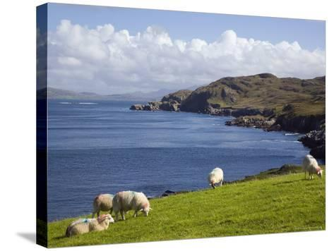 Sheep Grazing by Rugged Coastline of Coulagh Bay on Ring of Beara Tourist Route-Pearl Bucknall-Stretched Canvas Print