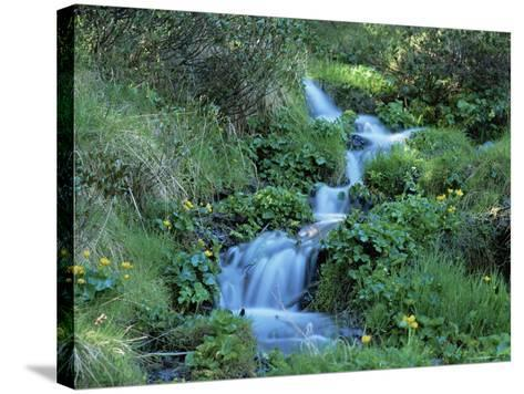 Marsh Marigolds (Caltha Palustris) by Mountain Stream, Obac d'Incles, Soldeu, Andorra-Pearl Bucknall-Stretched Canvas Print