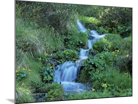 Marsh Marigolds (Caltha Palustris) by Mountain Stream, Obac d'Incles, Soldeu, Andorra-Pearl Bucknall-Mounted Photographic Print