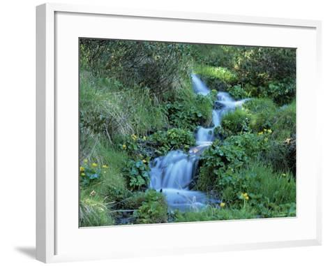 Marsh Marigolds (Caltha Palustris) by Mountain Stream, Obac d'Incles, Soldeu, Andorra-Pearl Bucknall-Framed Art Print