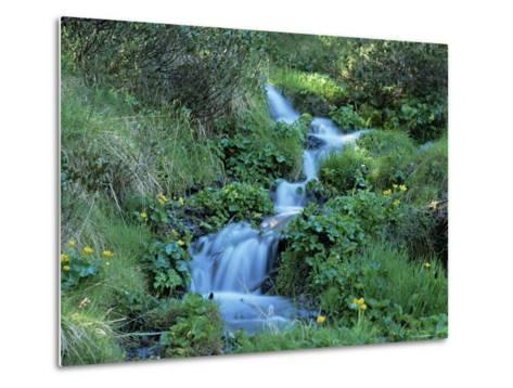 Marsh Marigolds (Caltha Palustris) by Mountain Stream, Obac d'Incles, Soldeu, Andorra-Pearl Bucknall-Metal Print