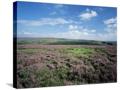Heather on the Moors, North Yorkshire, England, United Kingdom-Jean Brooks-Stretched Canvas Print