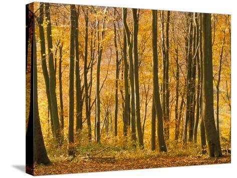 Beech Trees in Autumn, Queen Elizabeth Country Park, Hampshire, England, United Kingdom-Jean Brooks-Stretched Canvas Print