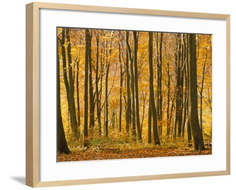 Beech Trees in Autumn, Queen Elizabeth Country Park, Hampshire, England, United Kingdom-Jean Brooks-Framed Art Print