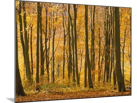 Beech Trees in Autumn, Queen Elizabeth Country Park, Hampshire, England, United Kingdom-Jean Brooks-Mounted Photographic Print