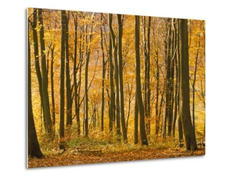 Beech Trees in Autumn, Queen Elizabeth Country Park, Hampshire, England, United Kingdom-Jean Brooks-Metal Print