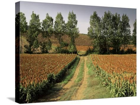 Millet Field Near Condom, Gascony, Midi-Pyrenees, France-Michael Busselle-Stretched Canvas Print