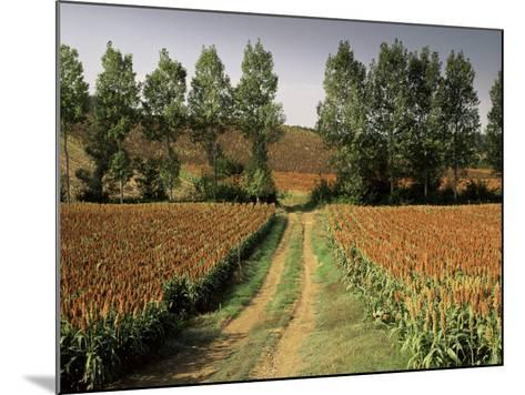 Millet Field Near Condom, Gascony, Midi-Pyrenees, France-Michael Busselle-Mounted Photographic Print