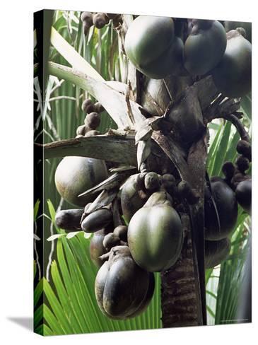 Close-Up of Coco De Mer, Vallee De Mai National Park, Island of Praslin, Seychelles-Bruno Barbier-Stretched Canvas Print