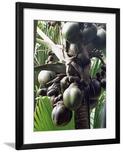 Close-Up of Coco De Mer, Vallee De Mai National Park, Island of Praslin, Seychelles-Bruno Barbier-Framed Art Print