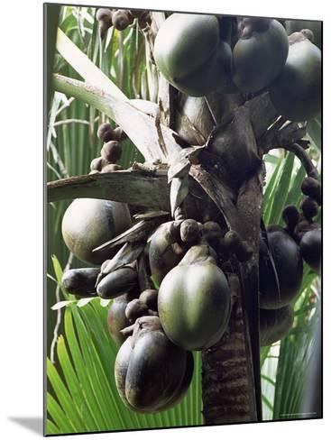 Close-Up of Coco De Mer, Vallee De Mai National Park, Island of Praslin, Seychelles-Bruno Barbier-Mounted Photographic Print
