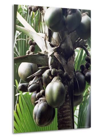 Close-Up of Coco De Mer, Vallee De Mai National Park, Island of Praslin, Seychelles-Bruno Barbier-Metal Print