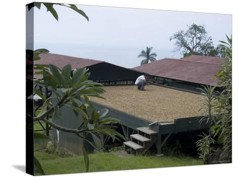 Kona Coffee Beans Drying in the Sun, Greenwell Coffee Plantation, Kona, Hawaii-Ethel Davies-Stretched Canvas Print