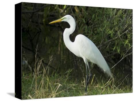 Egret, Everglades National Park, Unesco World Heritage Site, Florida, USA-Ethel Davies-Stretched Canvas Print