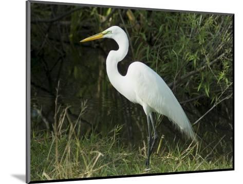 Egret, Everglades National Park, Unesco World Heritage Site, Florida, USA-Ethel Davies-Mounted Photographic Print