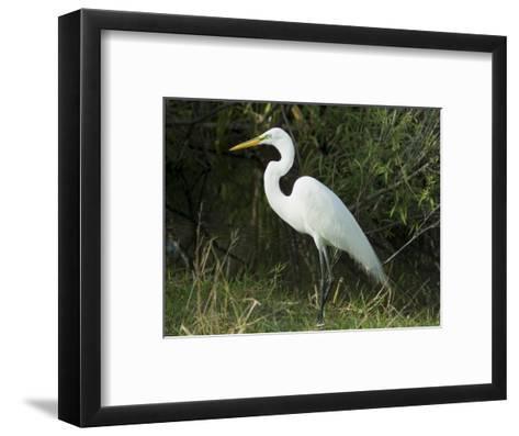 Egret, Everglades National Park, Unesco World Heritage Site, Florida, USA-Ethel Davies-Framed Art Print