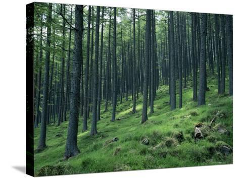 Tree Patterns, Burtness Wood, Lake District, Cumbria, England, United Kingdom-Neale Clarke-Stretched Canvas Print
